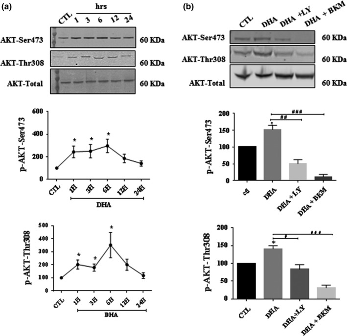 The increase in AKT phosphorylation in primary cultured Schwann cells (pSC) by DHA is abolished by PI3K inhibitors. pSC were treated with DHA (50 µM) for (1–24 hr) (a). pSC were treated with DHA in the presence or absence of LY294002(40 µM), BKM120 (2 µM) and for 6 hrs (b). pSC cell lysates were prepared and subjected to Western blot analysis using specific antibodies against AKTp‐Ser473, AKTp‐Thr308, and total AKT. The blots were then analyzed using the Li‐Cor Odyssey system. The data represent mean ± SEM of at least three independent experiments. A representative Western blot is shown above each bar graph. * p
