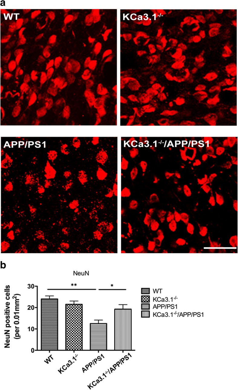 Neuronal loss is rescued in brains of KCa3.1 −/− /APP/PS1 mice. a Immunofluorescence analysis of NeuN levels in the hippocampi of 15-month-old WT, KCa3.1 −/− , APP/PS1, and KCa3.1 −/− /APP/PS1 mice. b Quantification of neuron number/0.01 mm 2 in the hippocampus ( n = 6). Data are presented as the mean ± SEM. * p