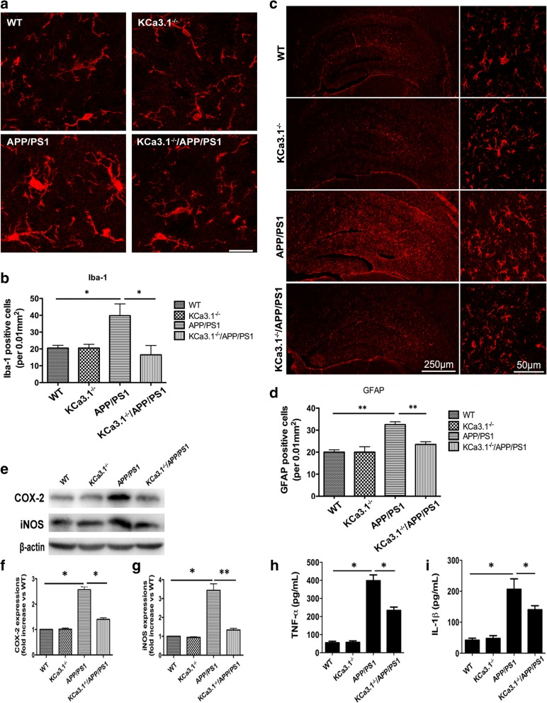 Decreased neuroinflammation in brains of KCa3.1 −/− /APP/PS1 mice. a Levels of activated microglia in CA1 areas of the mouse hippocampus were analyzed by immunostaining of the microglia marker Iba1. b Quantification of activated microglia number/0.01 mm 2 in the hippocampus ( n = 3). Data are presented as the mean ± SEM. * p