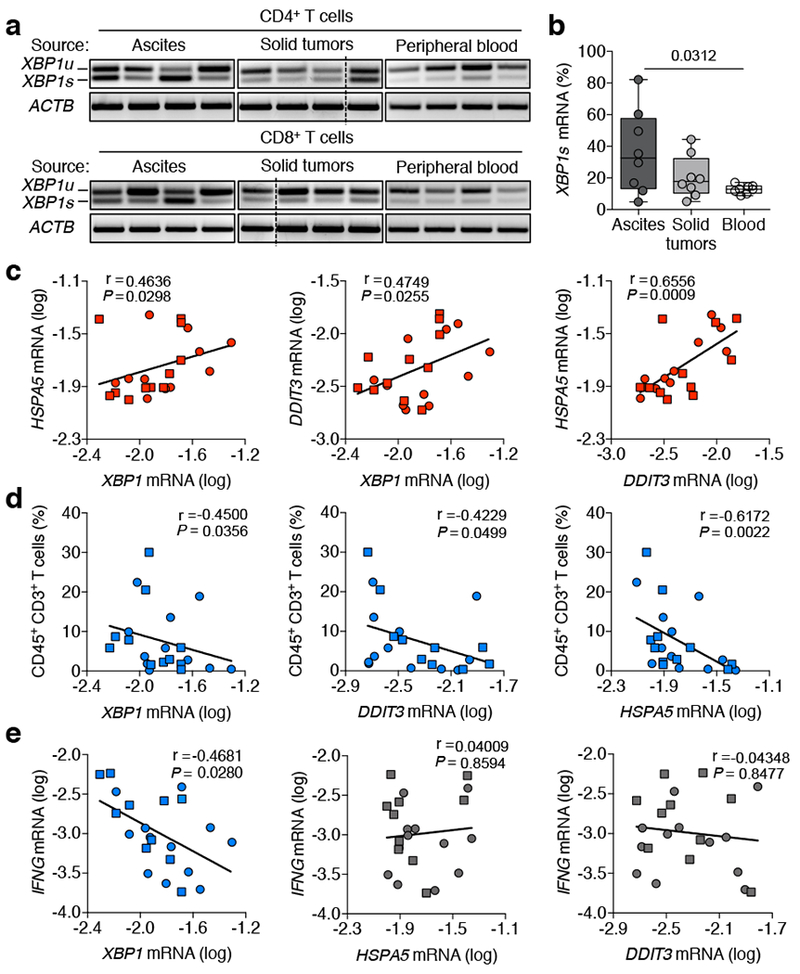 IRE1α-XBP1 activation in human OvCa-infiltrating T cells. a , XBP1 splicing assays for CD4 + or CD8 + T cells isolated from ascites or solid tumors of OvCa patients, or from blood of cancer-free female donors. XBP1s , spliced form; XBP1u , unspliced form. Data were generated from three independent experiments. b , Frequency of spliced XBP1/total XBP1 in T cells sorted from the indicated sources ( n = 8/group). c-e , Pairwise analyses for sorted tumor-associated CD4 + (circles) and CD8 + (squares) T cells ( n = 22 total). c, ER stress response gene expression. d , Proportion of CD45 + CD3 + OvCa-infiltrating T cells versus expression of the indicated genes in T cells from the same specimen. e , IFNG versus ER stress response genes in each sample. n -values correspond to biologically independent samples ( b-e ). One-way ANOVA with Tukey's post-test, boxes represent median ± interquartile range and whiskers indicate minimum and maximum ( b ); Spearman's rank correlation test, Spearman coefficient (r) with p-value (two-tailed), 95% confidence intervals (CI) for all correlation analyses ( c-e ) are described in Supplemental Table 2 .