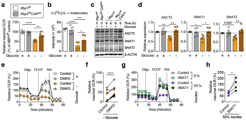 XBP1 limits glutamine influx in glucose-deprived CD4 + T cells. a, c-d, Naïve splenic CD4 + T cells isolated from WT (solid bars) or XBP1-deficient (hatched bars) mice were activated via CD3/CD28 stimulation for 48 h and then incubated for 6 h in the indicated media. a , Maximal OCR of T cells in the presence or absence of glucose ( n = 5). b , Glutamine tracing was performed as described in the methods and relative abundance of total 13 C-labeled metabolites was determined ( n = 4). Immunoblot ( c ) and quantification ( d ) of glutamine transporters in the indicated T cells ( n = 5 total from five independent experiments). OCR profile ( e ) and maximal OCR ( f ) in DMKG-treated WT T cells ( n = 14). Data are presented as relative expression compared with WT T cells incubated in the presence of glucose ( a, d, f ). OCR profile ( g ) and maximal OCR ( h ) for SNAT1-overexpressing human CD4 + T cells exposed to OvCa ascites ( n = 4). Data are shown as relative expression compared with control virus-transduced T cells that were not exposed to ascites. n -values represent biologically independent samples ( a , b , d , f , h ). Data are shown as mean ± s.e.m. One-way ANOVA with Tukey's post-test ( a, b, d ); Two-tailed paired Student's t -test ( f, h) ; * P