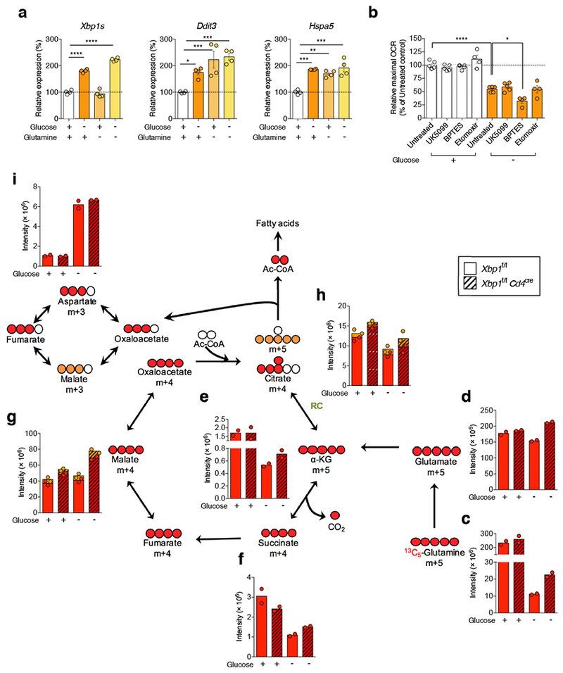 XBP1 inhibits glutamine influx in response to glucose deprivation. a - b , Naïve splenic CD4 + T cells isolated from WT mice were activated via CD3/CD28 stimulation for 48 h and then incubated for 6 h in the indicated media. a , Expression of ER stress-related gene markers ( n = 4 from two independent experiments). Data are shown as percent response change compared with control in the presence of glucose- and glutamine-containing media. b , Maximal OCR was measured in CD4 + T cells in the presence or absence of glucose, and treated with corresponding media (untreated, n = 5) or inhibitors blocking pyruvate (UK5099, n = 5), glutamine (BPTES, n = 4) or fatty acid (Etomoxir, n = 4) oxidation. Data are presented as percent response change compared with untreated control in the presence of glucose. c - i, Naïve splenic CD4 + T cells isolated from WT (solid bars) or XBP1-deficient (hatched bars) mice were activated via CD3/CD28 stimulation for 48 h, followed by culture in the presence or absence of glucose for 4.5 h, and then pulsed with [U- 13 C]-glutamine for an additional 1.5 h in the same culture condition. Relative abundance of 13 C-labeled metabolites and TCA intermediates including glutamine ( c ), glutamate ( d ), α-ketoglutarate ( e ), succinate ( f ), malate ( g ), citrate ( h ) and aspartate ( i ) was determined by LC-MS/MS. Data were normalized to cell number in all cases and are representative of two independent experiments with n = 2 biologically distinct samples per group. Data are shown as mean ± s.e.m. n values represent biologically independent samples ( a , b ). One-way ANOVA with Bonferroni's multiple comparisons test ( a ); One-way ANOVA with Tukey's multiple comparisons test ( b ); * P