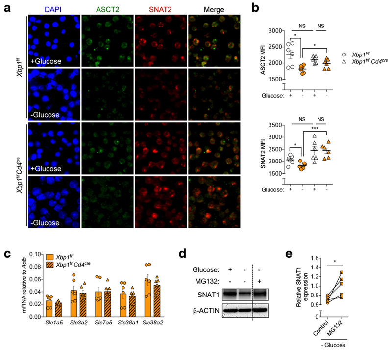 XBP1 controls the abundance of glutamine transporters in glucose-deprived T cells. a - b , Pre-activated WT or XBP1-deficient CD4 + T cells were incubated in the indicated media for 6 h and then stained on poly-l-lysine coated discs using antibodies specific for ASCT2 (green) or SNAT2 (red). Nuclei are depicted in blue (DAPI staining). a , Representative confocal images of the indicated T cells from three experiments. b , The mean fluorescence intensity (MFI) of each glutamine transporter on ~50 individual cells from three independent slides ( n = 150) was computationally quantified using the Image J software by two independent investigators in a blinded manner. Individual dots depict the average MFI of each independent analysis ( n = 6). c , Naïve splenic CD4 + T cells isolated from WT or XBP1-deficient mice were activated via CD3/CD28 stimulation for 48 h and then incubated in media lacking glucose for 6 h. mRNA expression of genes encoding glutamine transporters was determined by qRT-PCR ( n = 6 from three experiments). Data were normalized to endogenous expression of Actb in each case. d - e , Pre-activated mouse CD4 + T cells were incubated in the indicated media for 6 h in the presence or absence of proteasome inhibitor MG132 (10 μM). d , Protein levels of the glutamine transporter SNAT1 were determined by immunoblot analysis where β-ACTIN was used as loading control. Representative image from five independent experiments. e , Densitometric quantification of SNAT1 ( n = 5). Results are presented as relative expression compared with untreated control T cells incubated in glucose-containing media. Data are shown as mean ± s.e.m ( b , c ). n values represent biologically independent samples ( c , e ). Two-tailed Student's t -tests ( b ); Two-tailed paired Student's t -tests ( e ); * P