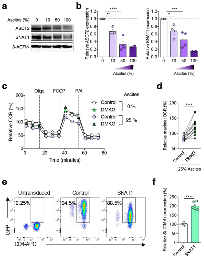 Restoring glutamine influx enhances mitochondrial function in ascites-exposed CD4 + T cells. a - b , Immunoblot ( a ) and densitometric quantification ( b ) for ASCT2 and SNAT1 protein levels in human CD4 + T cells exposed to OvCa ascites at the indicated concentrations for 16 h. β-ACTIN was used as loading control. Data are shown as the relative expression compared with untreated (0%) controls. n = 4 for 10% ascites; n = 4 for 50% ascites; n = 2 for 100% ascites. Data were generated from two independent experiments. c-d , Human CD4 + T cells were activated via CD3/CD28 stimulation for 16 h in the absence or presence of 25% OvCa ascites supernatants, and DMKG (5 mM) was added to the cell culture during the last 4 h of incubation. OCR profile ( c ) and quantification of maximal OCR ( d ). Data are presented as relative expression compared with untreated controls incubated in the absence of ascites ( n = 17 total from two independent experiments). e - f , Human CD4 + T cells activated via CD3/CD28 stimulation and IL-2 (50 U/ml) for 36 h were transduced with GFP-expressing retroviruses harboring no insert (control) or the gene encoding human SNAT1. GFP + cells were sorted 3 days post-transduction and expanded for an additional 48 h in the presence of CD3/CD28 stimulation and IL-2 (50 U/ml). After 20 h of resting, cells were restimulated with CD3/CD28 antibodies in the absence or presence of OvCa ascites supernatants for 16 h. e , Sorting plots showing GFP expression by CD4 + T cells that were left untreated or transduced with either control or SNAT1-expressing viruses. Representative plots from two experiments. f , Relative SLC38A1 expression levels in sorted cells after transduction ( n = 6 total from two independent experiments). n values represent biologically independent samples ( b, d, f ). Data are shown as mean ± s.e.m ( b , c , f ). One-way ANOVA with Bonferroni's multiple comparisons test ( b ); Two-tailed paired Student's t -test ( d ); Two-tailed Student's t