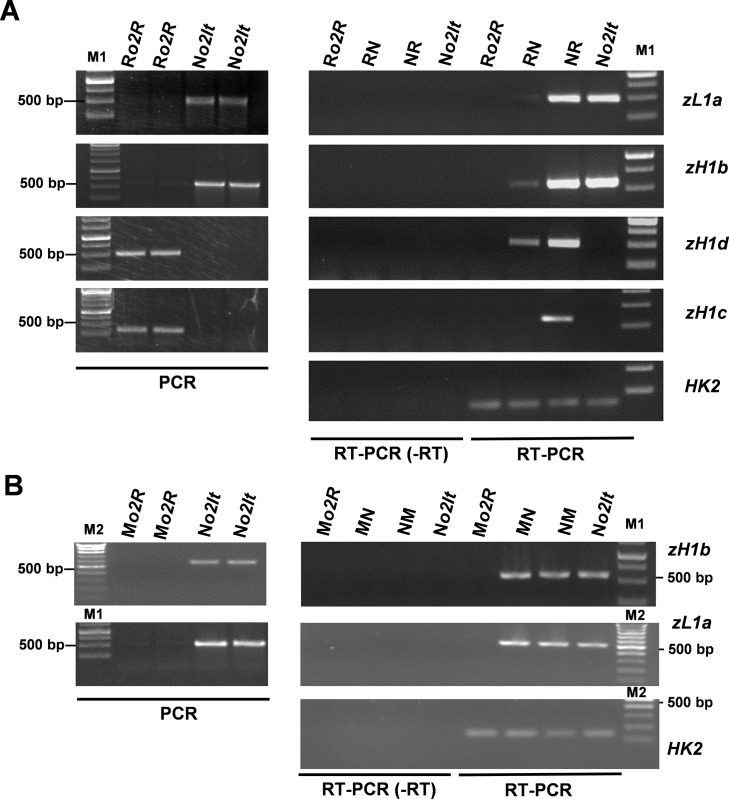 Allele specific analysis of α-zeins . (A) <t>PCR</t> and RT-PCR analysis of <t>DNA</t> and cDNA, respectively, of N o2It , NR, RN, and R o2R with primers specific to zL1a , zH1b , zH1c , zH1d alleles. (B) PCR and RT-PCR analysis of DNA and cDNA, respectively, of N o2It , NM, MN, and M o2R with primers specific to zL1a , zH1b alleles. For PCR analysis two independent genomic extractions were analyzed. Gene expression of G RMZM2G023418 ( HK2 ) was used as endogenous reference. RT-PCR (-RT) indicates that the reverse transcriptase enzyme was omitted in the cDNA reaction. Data are representative of two biological replicates. M1 and M2 indicate different molecular markers.