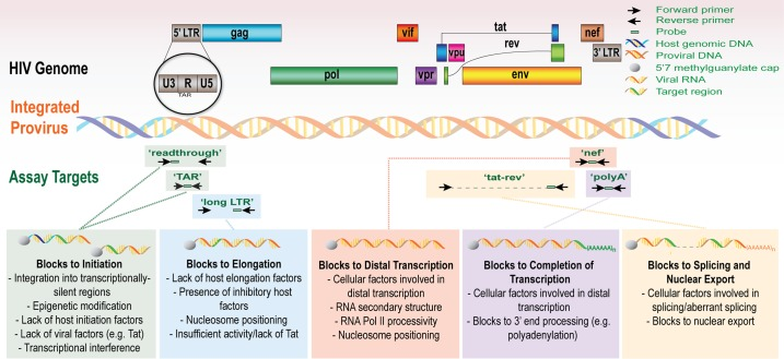The HIV genome and the targets for transcription profiling assays. This schematic shows the genetic organization of proviral HIV DNA and the HIV 'transcription profiling' assays targeting specific RNA sequence regions that provide insight into blocks to transcription. Some proposed mechanisms underlying the blocks to transcription initiation, elongation, and splicing are detailed.
