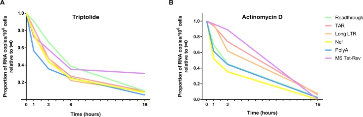 Stability of HIV transcripts ex vivo . Peripheral CD4+ T cells were isolated from an ART-suppressed individual and treated with the RNA polymerase II (RNA Pol II) inhibitors (A) Triptolide [100 nM] or (B) Actinomycin D [5 mg/mL] to arrest de novo cellular and viral transcription. HIV transcripts (Read-through, TAR, Long LTR, Nef, PolyA, and MS Tat-Rev) were quantified using RT-ddPCR from cells harvested at various time points post-treatment. Levels of each HIV RNA were expressed as a proportion of the level at time t = 0 (shown) and the half-lives were determined using a one-phase exponential decay model. Data normalized to DNA mass are shown.