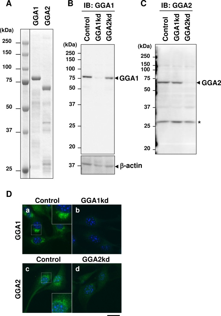 Preparation of specific antibodies to mGGA1 and mGGA2. ( A ) Purified His6-tagged mouse Golgi associated, gamma-adaptin ear containing, ARF binding protein (GGA)1 (mGGA1) and GGA2 (mGGA2) full-length protein expressed in bacteria. Approximately 2 mg of each recombinant protein was subjected to SDS-PAGE and visualized by Coomassie brilliant blue staining. ( B and C ) Endogenous GGA1 ( B ) and GGA2 ( C ) were detected using specific antibodies. Lysates from untreated (Con) or GGA1 depleted (GGA1kd), or GGA2 depleted (GGA2kd) C2C12 cells were subjected to immunoblotting with anti-GGA1 (B) or anti-GGA2 (C) antibodies. ( D ) C2C12 cells were treated with control short interfering RNA (siRNA) (a, c) or siRNAs to Gga1 (b) and Gga2 (d), and the cells were subjected to immunofluorescence microscopy with anti-GGA1 (a and b: green) and anti-GGA2 (c and d: green) antibodies. Nuclei were counterstained with Hoechst33342 (blue). Scale bar: 20 mm.