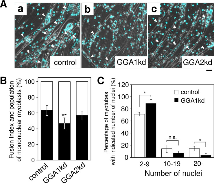 GGA1 is involved in myogenesis of C2C12 cells. ( A ) Knockdown of Gga1 (Golgi associated, gamma adaptin ear containing, ARF binding protein 1) affects myogenesis of C2C12 cells. Short interfering RNA (siRNA) for non-target (a), Gga1 (b), and Gga2 (c) were transfected into C2C12 cells and muscle differentiation was induced for four days. Gga1 kd cells showed fewer myotubes compared with those formed by the other cells. ( B ) The fusion index in (A) was calculated as described in the Materials and methods. The population of the nuclei in myotubes was indicated by the closed bars and that of unfused mononuclear myoblasts was indicated by the open bars. Error bars indicate SD (n = 6). ( C ) Quantification of the percentage of nuclei in control and Gga1 kd (siGGA1) myotubes. Error bars indicate SD (n = 3). *. P