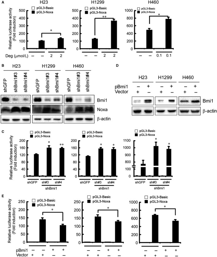 Involvement of Bmi1 in deguelin‐induced Noxa expression in NSCLC cells. A, Deguelin increases the Noxa promoter activity in NSCLC cells. Dual luciferase reporter assays of plasmid DNA encoding a fragment of human Noxa promoter in NSCLC cells were performed as described in Materials and Methods. NCI ‐H23, NCI ‐H1299, and NCI ‐H460 cells were transfected with the Noxa promoter reporter plasmid ( pGL 3‐Noxa‐N1 ) or pGL 3‐Basi c vector and then exposed to deguelin for 48 hours. Firefly luciferase readings were normalized to Renilla luciferase to correct for transfection efficiency. The Noxa promoter‐driven luciferase activities were expressed as fold induction over the activity of pGL 3‐Basic vector. Data represent mean ± SD from two independent experiments performed in triplicate. * P