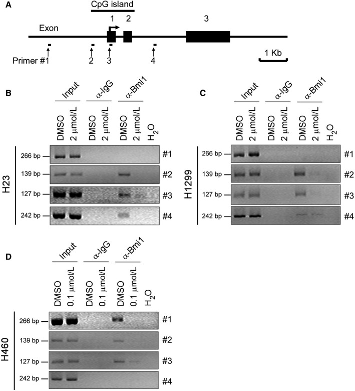 Deguelin inhibits the binding of Bmi1 to the Noxa gene locus in NSCLC cells. A, Schematic representation of the Noxa locus and the location of primers (#1 to #4) used in Ch IP experiments and exons are indicated. B‐D, NCI ‐H23 (B), NCI ‐H1299 (C), and NCI ‐H460 (D) cells were treated with DMSO or the indicated concentrations of deguelin for 48 hours and subjected to Ch IP assays with an antibody against Bmi1 or normal rabbit IgG. The precipitated DNA fragments were subjected to PCR analysis to test for the presence of sequences corresponding to the Noxa gene locus. Input material (10%) was shown for comparison