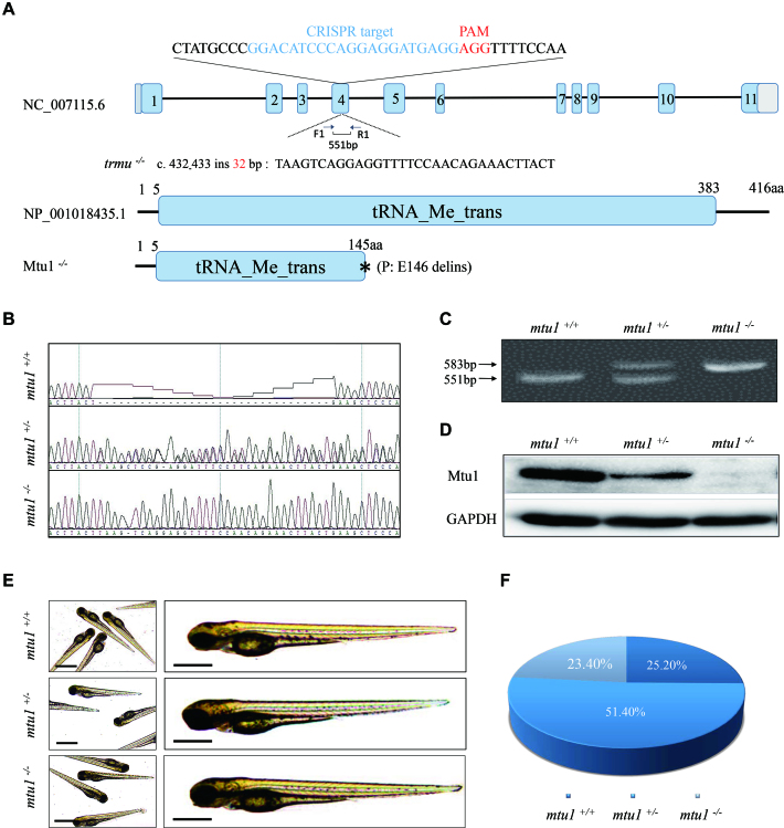 Generation of mtu1 knock-out zebrafish using CRISPR/Cas9 system. ( A ) Schematic representation of CRISPR/Cas9 target site at exon 4 as used in this study. An allele, mtu1 ins32bp was produced by a 32 bp insertion in exon 4 and a truncated 145 amino acid non-functional protein. ( B – D ) Genotyping of mtu1 ins32bp by Sanger sequence, the PAGE RFLP and Western blot analyses. ( E ) The morphology of mtu1 −/− , mtu1 +/− and mtu1 +/+ zebrafish at 3 dpf. ( F ) The ratios of genotypes/phenotype of offsprings (F2) in clutches from different F1 mtu1 heterozygous crosses at 10 dpf ( n = 350).