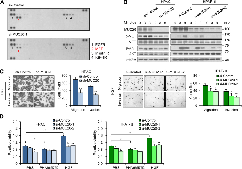 MUC20 knockdown inhibits HGF/MET signalling in PDAC cells. a MUC20 knockdown decreased phospho-MET levels. MUC20 was knocked down with siRNA (si-MUC20-1) in HPAF-II cells cultured with PSC-conditioned medium. Changes in 49 phospho-RTKs were analysed by western blotting of human phospho-RTK array (R D Systems). b MUC20 knockdown inhibited phosphorylation of MET and AKT in HPAC and HPAF-II cells treated with 25 ng/ml HGF. c MUC20 knockdown inhibited HGF-triggered migration and invasion in HPAC and HPAF-II cells analysed by Transwell migration assay and Matrigel invasion assay, respectively. Scale bars indicate 1 mm. d MUC20 knockdown significantly reversed HGF-enhanced viability in HPAC and HPAF-II cells. Cells cultured in 10% <t>FBS/DMEM-F12</t> were treated with PBS, MET inhibitor PHA665752 (2.5 µM) or HGF (25 ng/ml), as indicated. Viability was analysed by the MTT assay. Data are presented as mean ( n = 3) ± SD. * P
