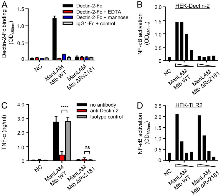 Dimannoside caps are required for ManLAM binding to and signaling via Dectin-2. ManLAM (1 µg in ( A ) from 300 to 10 ng in ( B and D ) 0.1 µg in ( C )) purified from M . tuberculosis wild-type or Δ Rv2181 mutant strains were tested for their capacity to bind Dectin-2-Fc ( A ), to induce NF-κB activation in HEK-Dectin-2 cells ( B ) and HEK-TLR2 cells ( D ), and to induce TNF-α production by BMDCs ( C ). Conditions are the same as in Fig. 2 . Data show mean ± SEM. NC, non-coated.