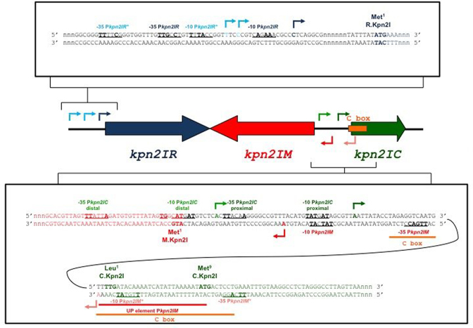 Genetic organization of restriction–modification system Kpn2I. In the middle of the figure, the Kpn2I genes are schematically shown by colored arrows, with arrow direction matching the direction of transcription. The DNA sequence upstream of the kpn 2I R gene (both strands) is expanded at the top. The initiating codon of the kpn 2I. R reading frame is indicated; the transcription start points of kpn 2I .R promoters are shown by arrows, likely -10 and -35 promoter elements are underlined, nucleotides matching promoter element consensus are shown in bold. The sequence of the intergenic region between and the beginnings of oppositely transcribed kpn 2I. M and kpn 2I .C genes is expanded below. Initiating codons of both ORFs, transcription start points, and promoter consensus elements are indicated. Sequences downstream of initiating codons are colored to match the coloring scheme of the genes as shown in the middle of the figure (dark blue for kpn 2I .R , red for kpn 2I .M , dark green for kpn 2I .C ). Arrows indicating transcription start points are also colored to match the same coloring scheme. Arrows of darker shades indicate stronger promoters. The binding site of C.Kpn2I (as determined by DNase I and Exo III footprinting) is shown by an orange-colored horizontal line and marked 'C box'). The likely UP element of kpn 2I .M is marked.