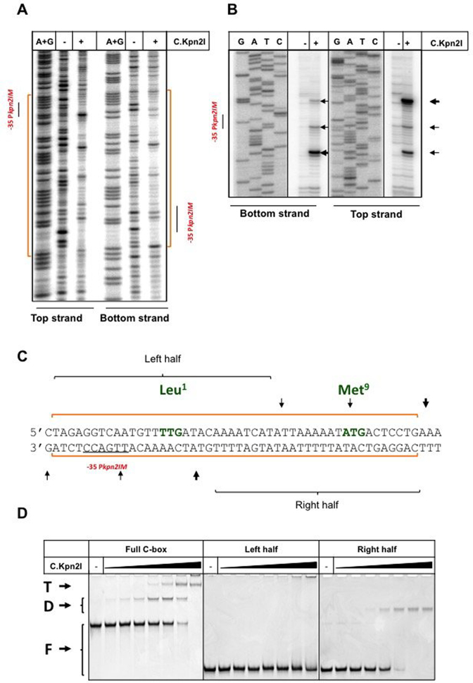 Mapping of the C.Kpn2I binding site. DNase I ( A ) and Exo III ( B ) footprinting of C.Kpn2I complexes formed on a DNA fragment separating kpn 2I .M and kpn 2I .C . Results obtained with DNA fragment labeled at either top or bottom strands (see Figure 1 ) in the presence or in the absence of C.Kpn2I are shown. Areas protected by C.Kpn2I from DNase I digestion are indicated by blue-colored brackets at both sides of the gel shown in panel A (also shown by orange line at the bottom of Figure 1 ). The positions of Exo III stalling points during DNA digestion in B are shown by horizontal arrows. ( C ) Summary of footprinting results. The positions of Exo III stalls and areas of DNA protection on both strands are shown by vertical arrows and horizontal blue lines, respectively. The –35 element of the kpn 2I .M promoter is underlined. The initiating TTG (Leu 1 ) codon of kpn 2I .C and the Met 9 ATG are indicated (see text for det ails). The left- and right half sites fragments used in EMSA experiments are indicated. ( D ) A double-stranded radioactively-labeled Kpn2I DNA fragment shown in C ('full C-box') or shorter fragments corresponding to its left- and right-hand side halves were combined with increasing amounts of C.Kpn2I and reaction products were resolved by native PAGE. 'F' indicates free DNA, 'D'—a complex likely bound to C.Kpn2I dimer, 'T'—a complex bound to C.Kpn2I tetramer.