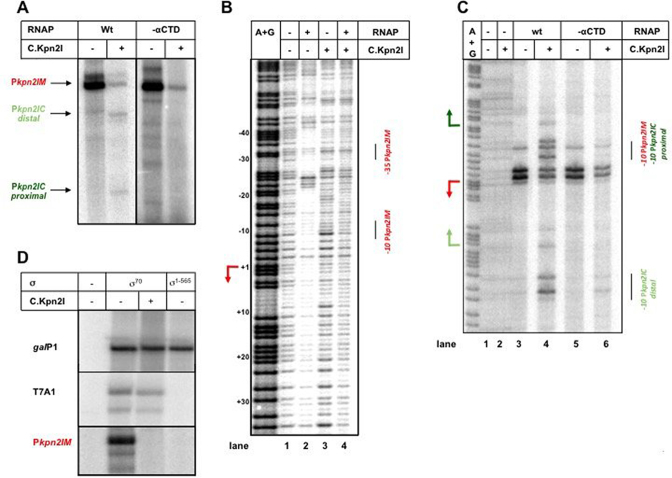 In vitro transcription and RNAP promoter complex formation in the presence of C.Kpn2I. ( A ). Results of multiple-round transcription by σ 70 RNAP holoenzyme with wild-type ('wt') α subunit or with α lacking the CTD domain ('-αCTD') from a DNA fragment containing the intergenic region between kpn 2I .M and kpn 2I .C in the presence or in the absence of added C.Kpn2I. ( B ) The same DNA fragment was combined with σ 70 RNAP holoenzyme, C.Kpn2I, or both and subjected to DNase I footprinting. ( C ) As in B but showing the results of KMnO 4 probing of complexes formed by σ 70 RNAP holoenzymes with wild-type α or α lacking the CTD. ( D ) Results of multiple-round transcription in the presence or in the absence of C.Kpn2I by RNAP holoenzymes containing wild-type σ 70 or σ 1–565 lacking the region 4 domain. In addition to transcription from the kpn 2I .M promoter, results of transcription from strong -10/-35 class promoter T7 A1 and extended –10 class gal P1 promoter are shown.