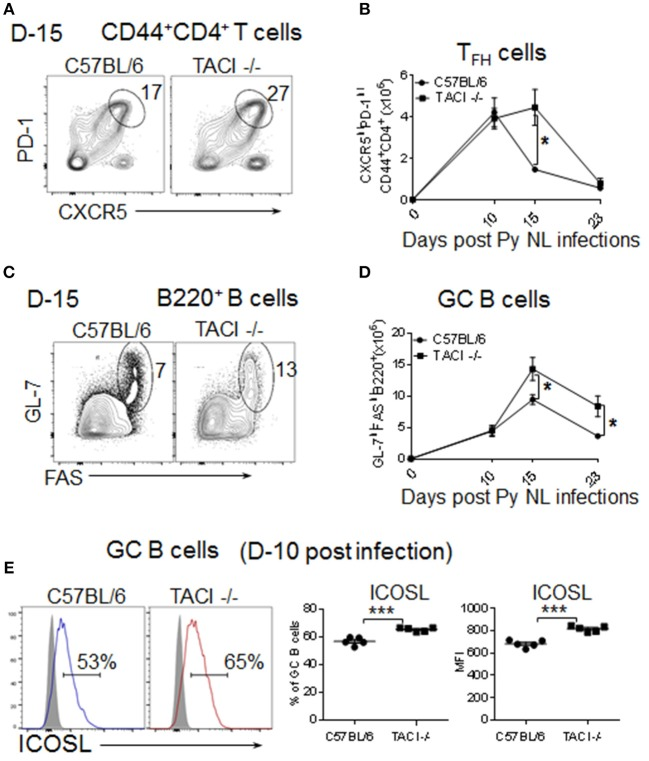 """TACI deficiency extends formation and resolution kinetics of T FH and GC response. TACI -/- and C57BL/6 mice were infected (i.p.) with 1 × 10 6 P. yoelii (Py 17XNL strain) parasites. (A) Representative dot plots depict the percentage of splenic PD-1 high CXCR5 high (T FH ) cell on CD44+CD4+ pre-gated T cells at day 15 post-infection. (B) Formation and resolution kinetics of T FH cells presented as number of T FH cells per spleen. (C) Representative dot plots depict the percentage of and GL-7 hig hFAS high (GC B cells) on B220 + pre-gated B cells at day 15 post-infection. (D) Formation and resolution ki""""netics of GC B cells presented as number of GC B cells per spleen. Total splenic B cell (E) Day 10 post-infection ICOSL expression levels were measured on B220 + GL-7 high FAS high gated splenic GC B cells. Representative histograms as well as frequencies of ICOSL expressing cells and ICOSL MFI for each mouse strain are shown. Unpaired Student's t -test was used for statistical evaluation. Results are expressed as mean ± SEM ( n = 5) from one representative experiment out of three with similar results. * p"""