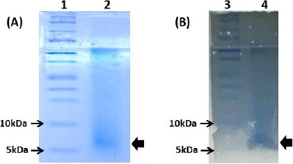 Molecular weight estimation of the Leuconostoc lactis SD501 bacteriocin. (A) Tricine SDS-PAGE gel stained with Coomassie Brilliant Blue G250 for protein detection. (B) Tricine gel overlaid with soft agar containing Listeria <t>monocytogenes</t> ATCC 19114: lanes 1 and 3, Precision Plus Protein™ Dual Xtra Prestained Protein Standards marker; lanes 2 and 4, purified bacteriocin from Leuc. lactis SD501.