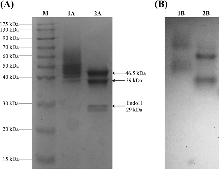 SDS-PAGE gels of the IMAC-purified Tt PPO. Samples were run under either denaturing (A) or native (B) conditions. Lane M, prestained protein marker; lanes 1A and 1B, untreated Tt PPO; lanes 2A and 2B, endoglycosidase H-treated Tt PPO.