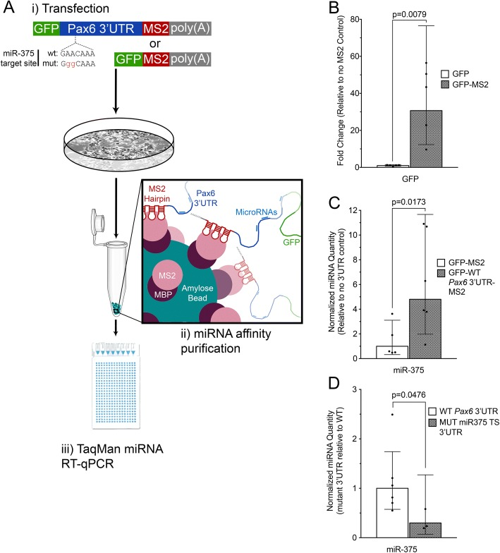 miTRAP as a strategy to purify Pax6 3'UTR-associated miRNAs. a Schematic of the Pax6 3'UTR affinity purification approach. (i) Plasmid vectors expressing GFP tagged with the MS2 RNA sequence motif followed by the SV40 polyadenylation signal are introduced into pancreatic αTC1–6 cells via transient transfection. (ii) MS2 coat protein fused to maltose binding (MS2-MBP) is used to purify GFP transcripts with bound miRNAs from αTC1–6 cell lysate. (iii) Real-time quantitative PCR (RT-qPCR) is used to detect GFP transcript and bound miRNAs. Schematic of the Pax6 3'UTR shows the location of the highly conserved miR-375 target site located at 3'UTR position 201 and miR-375 target site mutation. b Validation of the MS2-mediated affinity purification strategy by RT-qPCR quantification of GFP transcripts with and without the MS2 RNA motif. Fold change was calculated using Pfaffl's method [ 61 ]. qPCR results for GFP with the MS2 motif (grey bar) were expressed relative to data without the MS2 motif (unfilled bar). Data represents 5 independent samples, p = 0.0079. c Affinity purification of miR-375 with the Pax6 3'UTR in αTC1–6 cells using TaqMan individual qPCR assays. Normalized relative quantity was calculated using Pfaffl's method, and a normalized relative quantity greater than 1 indicates that more target miRNA is purified with the Pax6 3'UTR (grey bar) than the control lacking a Pax6 3'UTR (unfilled bar). Data represents six independent samples, p = 0.013. d Disruption of miR-375 binding to the Pax6 3'UTR following mutation of the miR-375 target site. Target miR-375 values were normalized to GFP as a reference gene, then normalized values for the mutant Pax6 3'UTR samples (grey bar), and are presented relative to the wt 3'UTR (unfilled bar). Data represents six independent wt 3'UTR samples and three miR-375 target site mutant 3'UTR samples, p = 0.0476. Error bars represent 95% confidence intervals, and p -values were calculated using the Mann Whitney test. Note scale ba