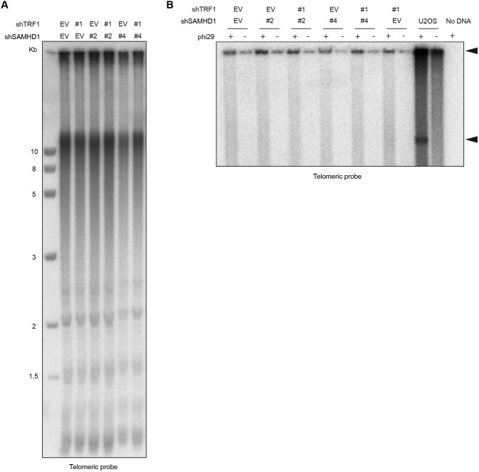 Co-depletion of TRF1 and SAMHD1 does not lead to rapid telomere shortening. (A) TRF analysis of genomic DNA prepared from HeLa cells transfected with indicated pSuper plasmids. Genomic DNA was digested overnight with HinfI and RsaI and fractionated on an agarose gel. (B) Phi29-dependent telomeric circles (T-circles) amplification assay. Genomic DNA prepared from HeLa cells transfected with indicated pSuper plasmids was digested overnight with HinfI and RsaI, and 0.75 μg of DNA was used for phi29-dependent amplification reaction. Genomic DNA from U2OS cell line was used as a positive control. Arrows indicate T-circle amplification products.