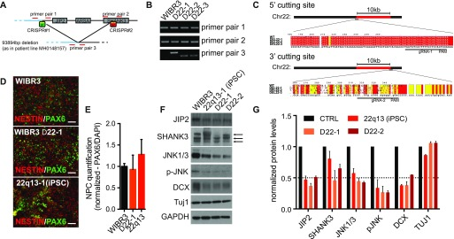 Isogenic ESC–derived neural cell types recapitulate patient-specific phenotypes. (A) CRISPR/Cas9 targeting scheme to introduce patient-specific deletion in WIBR#3 ESC line. (B) PCR assay shows untargeted control line and three heterozygous deletion lines. (C) Genomic DNA sequence of CRISPR target sites flanking the deletion. (D) Immunostaining for control, isogenic deletion, and iPSC lines after NPC differentiation. (E) Quantification of NPC fraction. Normalized data are shown as mean ± SEM (n = 4). (F) Comparative protein analysis of control, isogenic deletion, and iPSC lines upon neuronal differentiation. Arrows indicate three isoforms of SHANK3. (G) Quantification of immunoblots shown in (F). Data are represented as mean ± SEM (n = 3).