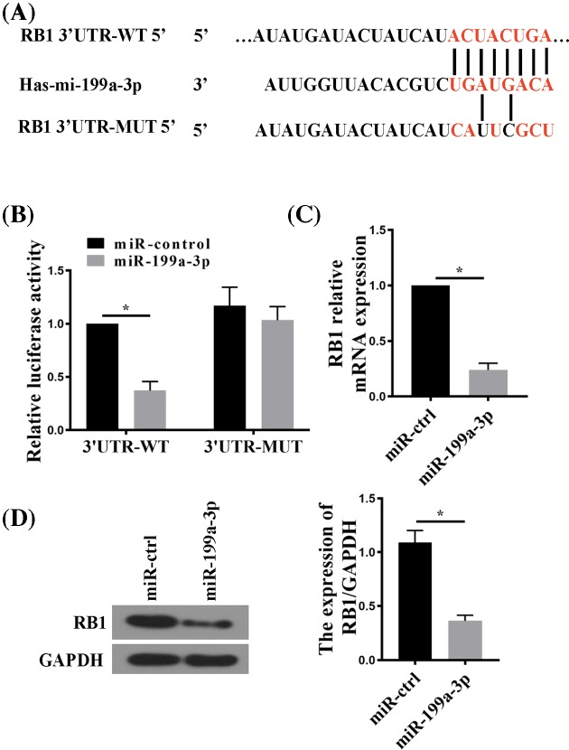 RB1 is a direct target of miR-199a-3p ( A ) TargetScan analysis showing the WT 3′-UTR of RB1 mRNA containing a putative miR-199a-3p target site. A mutant (MUT) sequence was designed accordingly to be tested for luciferase assay together with the WT. ( B ) Luciferase reporter assay comparing WT with MUT RB1 3′-UTR targetting by miR-199a-3p. RA-FLSs cells were co-transfected with RB1 3′-UTR firefly luciferase reporter constructs harboring WT or MUT miR-199a-3p-targetting sequences and an miR-199a-3p-expressing plasmid (miR-199a-3p) or a pSliencer 4.1-CMV puro vector (miR-control). Firefly luciferase activity was normalized to Renilla luciferase activity. ( C ) RT-qPCR analysis of RB1 mRNA in RA-FLSs transfected with miR-199a-3p or miR-control. ( D ) RB1 protein expression in RA-FLSs transfected with miR-199a-3p or miR-control. n =5; * P
