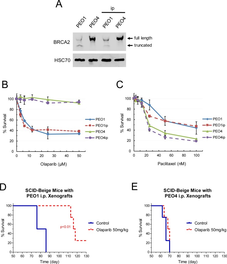 Characterization of intraperitoneal EOC cell lines and xenografts. (A) Expression of BRCA2 in PEO1/4 cells and PEO1/4ip cells. Total protein was isolated from cells and subjected to western blot analysis for BRCA2 protein. HSC70 protein was used as a loading control. BRCA2 wild type and mutant bands are shown. (B, C) Sensitivity of PEO1/4 cells and PEO1/4ip cells to olaparib and paclitaxel. Cells were treated with various concentrations of olaparib or paclitaxel for 72 hr. MTS cytotoxicity assay was performed to determine percent survival relative to vehicle-treated controls. Data are means ± SE. (D, E) SCID-Beige mice were inoculated i.p. with PEO1ip or PEO4ip cells. After 3 days, mice were randomly assigned to 2 groups (n = 4) and treated i.p. with vehicle and olaparib (50 mg/kg) daily for 6 weeks (day 3 to 45). The body condition score (BCS) of mice bearing PEO1ip xenografts was monitored and the abdominal circumference of mice bearing PEO4ip xenografts was measured every 2–3 days to determine the endpoint and the Kaplan-Meier survival curve. p values were determined by the Mantel-Cox test compared with the control.