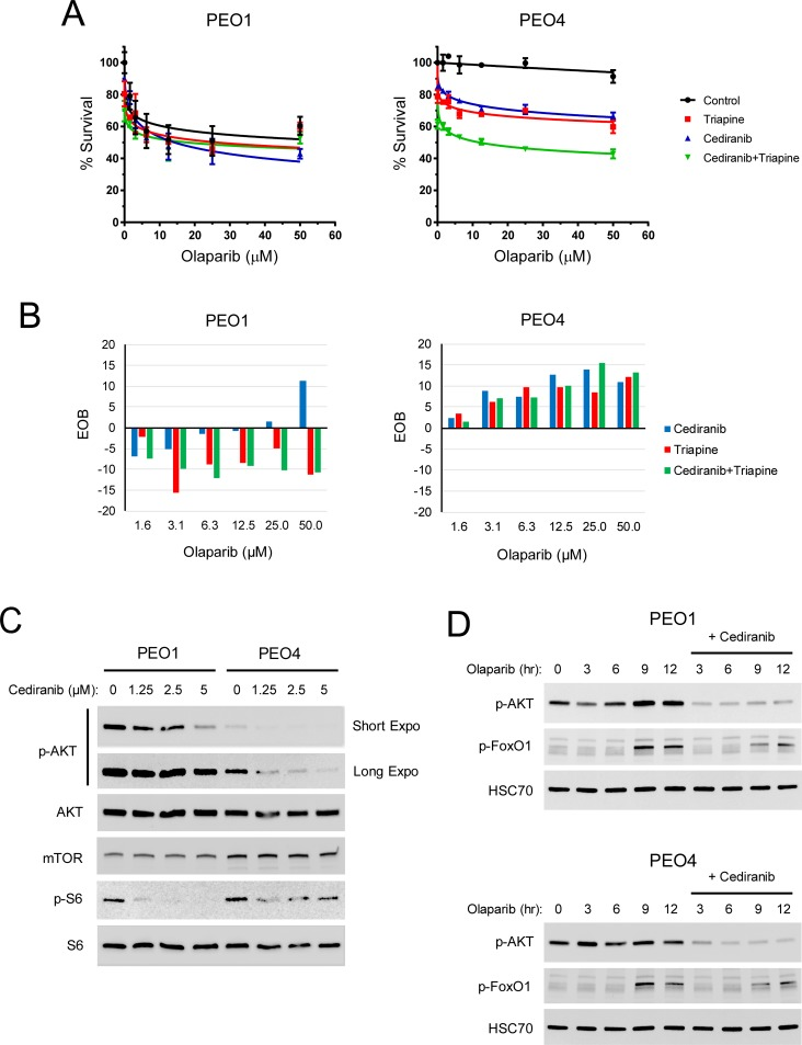 The effects of cediranib on AKT signaling and the sensitivity of BRCA2-wild type and mutated EOC cells to olaparib and triapine in vitro. PEO1 and PEO4 cells were treated with 1.25 μM cediranib, 0.75 μM triapine, or both drugs for 1 hr and then treated with various concentrations of olaparib for 72 hr. (A) MTS cytotoxicity assay was performed to determine percent survival relative to vehicle-treated controls. Data are means ± SD. (B) EOB was calculated to determine the effects of the combinations of cediranib, triapine, and olaparib on cell survival at all data points. EOB