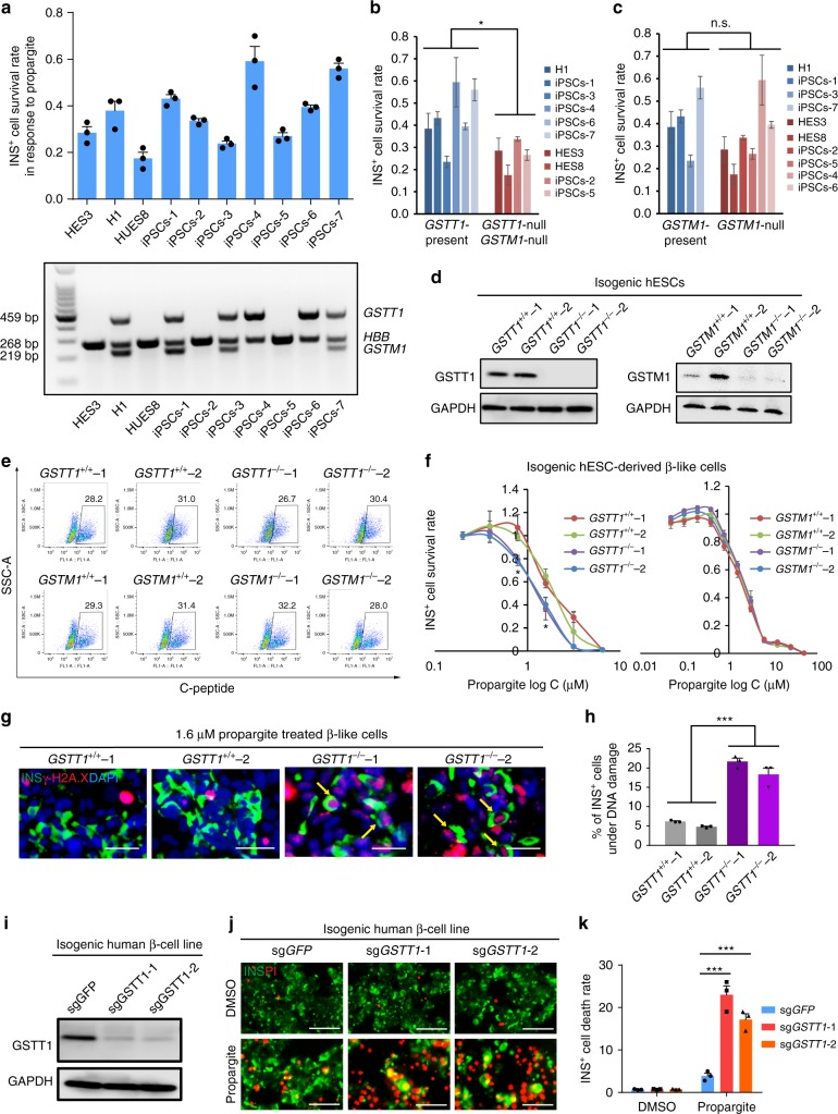 A hPSC-based population study discovers that GSTT1 -null pancreatic β-like cells are hypersensitive to propargite-induced cell death. a Survival rate of INS + cells derived from 10 different hESC or iPSC lines cultured in the presence of 1.6 μM propargite ( n = 3), and genotype analysis of GSTM1 and GSTT1 in those hESCs and iPSCs. b , c Correlation of INS + cell survival rate in the presence of 1.6 μM propargite in cells lacking both GSTM1 and GSTT1 ( b ), or lacking only GSTM1 ( c ). n.s. indicates a non-significant difference. d Western blotting analysis of GSTT1 or GSTM1 protein expression in INS + cells derived from isogenic wild type, GSTT1 −/− or GSTM1 −/− H1 hESCs. The −/− null clones were CRSIPR-induced biallelic frameshift mutants. The two GSTT1 knockout clones were both homozygous null mutants, and the two GSTM1 knockout clones were both compound-null mutants. e Flow cytometry analysis of C-peptide + cells in isogenic GSTT1 −/− or GSTM1 −/− hESC-derived D18 cells. f Inhibition curve of propargite on INS + cells derived from GSTT1 +/+ or GSTT1 −/− H1 hESCs ( n = 3). g , h Representative images ( g ) and DNA damage rate ( h ) of GSTT1 +/+ and GSTT1 −/− β-like cells ( n = 3). Scale bars, 800 μm. γ-H2A.X + /INS + cells are highlighted with yellow arrows. i Western blot analysis of GSTT1 protein in EndoC-βH1 cells carrying sgGSTT1 . Two CRISPR gRNAs ( sgGSTT1 -1 and sgGSTT1 -2) were used for generating GSTT1 −/− EndoC-βH1 cells. j , k Representative images ( j ) and cell death rate ( k ) of GSTT1 −/− EndoC-βH1 cells treated with 1.6 μM propargite ( n = 3). Scale bars, 200 μm. Values presented as mean ± S.D. n.s. indicates a non-significant difference. p values calculated by unpaired two-tailed Student's t -test were * p