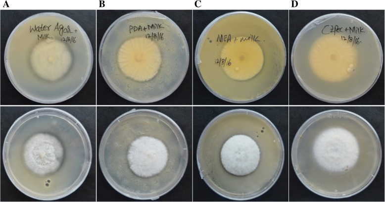 Growth of Clonostachys rosea on milk powder plates to assess extracellular protease activity. Clonostachys rosea was inoculated to plates that contained ( a ) water agar, ( b ) potato dextrose agar, ( c ) malt extract agar and ( d ) Czapek dox agar, and the clearing zones (indicative of extracellular protease activity) were assessed both from above and below the agar plates seven days post inoculation