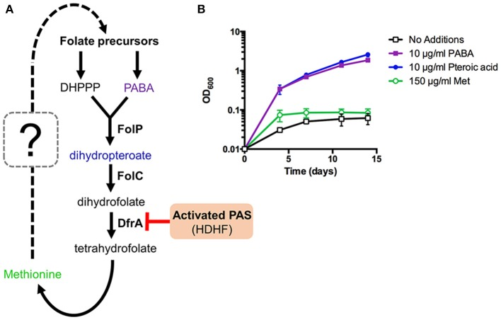 Methionine can affect but not bypass essentiality of upstream folate biosynthetic pathways in M. tuberculosis . (A) New working model of methionine-mediated PAS antagonism. (B) M. tuberculosis Δ pabB was grown to an OD 600 of ~0.5, washed three times with PABA-free 7H9 medium to remove residual PABA and resuspended in PABA-free 7H9 medium to a starting OD 600 of 0.01. Cultures were then supplemented with the indicated metabolites and incubated for 14 days with OD 600 readings taken at the given time points.