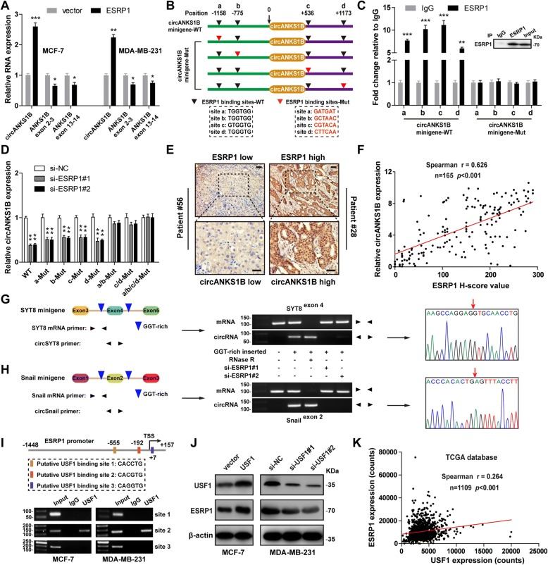 ESRP1 promotes circANKS1B formation and it is also a target of USF1 in breast cancer. a qRT-PCR analysis of circANKS1B and linear ANKS1B in MCF-7 and MDA-MB-231 cells with ESRP1 overexpression. b Schematic of circANKS1B minigene with four wild-type (WT) or mutant (Mut) ESRP1 binding sites. c RIP analysis of ESRP1-binding to wild-type (WT) or mutant (Mut) circANKS1B minigene using an antibody against ESRP1. d qRT-PCR analysis of circANKS1B after co-transfection with si-ESRP1 or si-NC and wild-type (WT) or various mutant (Mut) circANKS1B minigenes. e Representative IHC images of low (patient # 56) and high (patient # 28) ESRP1 expression in breast cancer tissues. Scale bar = 20 μm. f A strong correlation between ESRP1 and circANKS1B expression in breast cancer tissues assessed by Spearman correlation coefficients ( r = 0.626, n = 165, p