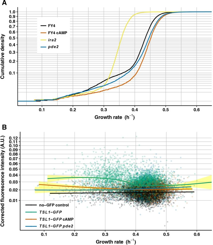 Intracellular <t>cAMP</t> controls nongenetic heterogeneity. (A) Growth-rate cumulative density curves of FY4 (black, 11900 microcolonies), FY4 cultivated with 15 mM <t>8-bromo-cAMP</t> (orange, 4510 microcolonies), ira2 (yellow, 6495 microcolonies) and pde2 (blue, 8666 microcolonies). Vertical axis is on a square-root scale for a better view of the slower-growing tail of each distribution. (B) Mean GFP fluorescence intensity—corrected by subtracting local background fluorescence then by subtracting the minimum value for the entire experiment, to avoid negative values (see Methods , vertical axis)—is plotted against microcolony growth rate (horizontal axis) for FY4 no-GFP control (black, 7340 microcolonies), TSL1-GFP (green, 6912 microcolonies), TSL1-GFP cultivated with 15 mM 8-bromo-cAMP (orange, 3730 microcolonies) and TSL1-GFP pde2 (blue, 1778 microcolonies). Each solid line is the fit to a generalized additive model with cubic spline smoother, with 95% confidence interval shown in yellow. Vertical axis is on a square-root scale for a better view at the low-intensity end.