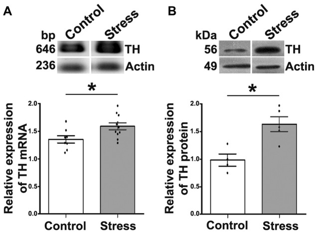 Cold-stress increased expression of tyrosine hydroxylase (TH) mRNA and protein in adrenal medulla (AM). (A) Conventional RT-PCR analysis performed on total RNA obtained from AM showing an increase (17.5%) in TH mRNA after 5 days of cold-stress. RT-PCR assay was performed for the amplification of TH mRNA fragment of 646 bp. (B) Western blot (WB) analysis of TH protein (56 kDa) expression showing an increase (1.6-fold) after cold-stress. Graphs show quantification of TH relative to actin, mean ± SEM and the significance level. Actin was used as the housekeeping gene for RT-PCR and as the loading control for WB assays. * P