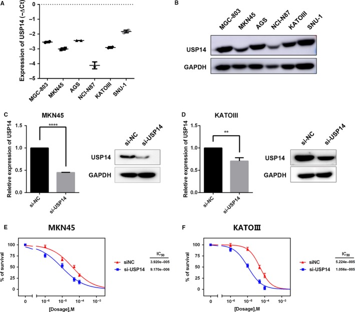 Suppressing USP 14 expression sensitized GC cells to cisplatin in vitro. A, B, USP 14 has high expression at both mRNA and protein level in the indicated six GC cell lines. C, D, A pool of three si RNA s (100 nmol/L in total) were introduced into MKN 45 (C) and KATO III (D) cells, respectively. The USP 14 expressions in these cells were measured via RT ‐ qPCR and western blotting. Data, ** P