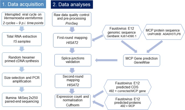 Flowchart illustrating the workflow of this study. This flowchart shows the general pipeline of this RNA-seq study, starting from sample preparation and RNA extraction to cDNA sequencing and data analyses. The biological interpretation of expression count was possible through the functional categories clustering of expressed genes.