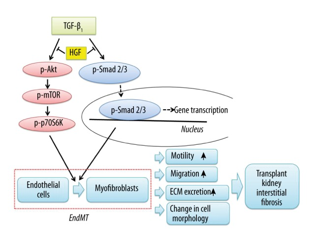A proposed model illustrating the antifibrotic effects of HGF on TGF-β1-induced EndMT.