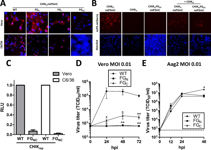 At least one FGDF motif is required for chikungunya virus replication in mammalian and mosquito cells. (A) Vero and C6/36 cells were transfected with in vitro transcribed RNA of CHIK IC nsP3mC, CHIK IC nsP3mC-FG N , CHIK IC nsP3mC-FG C , or CHIK IC nsP3mC-FG NC . Cells were fixed at 36 hours post transfection, stained with Hoechst, and fluorescence was observed by fluorescence microscopy. (B) Vero cells were transfected with in vitro transcribed RNA of CHIK IC nsP3mC or CHIK IC nsP3-FG NC either individually or co-transfected with in vitro transcribed RNA of CHIK IC . Cells were fixed at 36 hpt, stained with Hoechst and fluorescence was observed by fluorescence microscopy. (C) Vero and C6/36 cells were transfected with in vitro transcribed RNA of CHIK rep or CHIK rep -FG NC and the relative luciferase expression was quantified at 24 hpt. Bars indicate the mean relative light units (RLU) ±SEM, normalized to the wild type replicon from at least three independent experiments. (D) Growth curves of CHIKV IC , CHIKV IC -FG N and CHIKV IC -FG C on Vero cells infected in duplicate with an MOI of 0.01 based on end-point dilution assay (EPDA) on Vero cells. At the indicated time-points the TCID 50 /ml was determined by EPDA on Vero cells. (E) Growth curves of CHIKV IC , CHIKV IC -FG N and CHIKV IC -FG C on Aag2 cells infected in duplicate with an MOI of 0.01 based on infectivity on Aag2 cells. At the indicated time-points the TCID 50 /ml was determined by EPDA on Aag2 cells. Statistics were performed by one-way ANOVA with Tukey's post-hoc test on Log 10 transformed data at each time-point (α = 0.05). Asterisks indicate significance compared to the wild type virus. The dotted line in panels D-E indicates the EPDA detection limit.