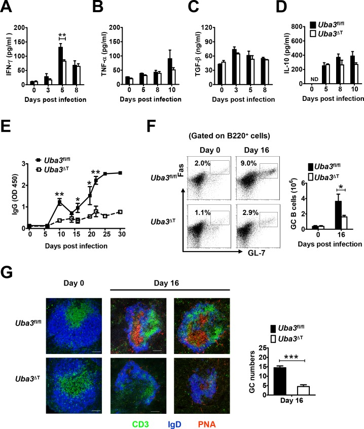 Defective IFN-γ and anti- P . yoelii 17XNL humoral immune responses in Uba3 ΔT mice. Serum levels of proinflammatory cytokines (A) IFN-γ, (B) TNF-α, and anti-inflammatory cytokines (C) TGF-β, (D) IL-10 in Uba3 fl/fl and Uba3 ΔT mice at days 0, 3, 5, 8, 10 of P . yoelii 17XNL infection (n = 5–6 per group), as determined by ELISA. (E) Parasite-specific IgG response over the course of infection was determined by ELISA. Data are expressed as relative OD values (n = 6 per group). (F) Representative dot plots and bar graphs showing the proportions and absolute numbers of Fas + GL-7 + germinal center B cells (gated on live B220 + B cells) in spleens of Uba3 fl/fl and Uba3 ΔT mice at day 0 and day 16 p.i. (n = 5–6 per group). (G) Left, representative confocal micrographs of spleen sections from day 0 and day16 infected Uba3 fl/fl and Uba3 ΔT mice, identifying T cell zones with anti-CD3 (green), B cell follicles with anti-IgD (blue), and germinal centers (GCs) with peanut agglutinin (PNA, red) staining. Scale bars, 100 μm. Right, bar graphs showing GC numbers per two sections from the spleen of each mouse at day 16 p.i. (n = 3 per group). Data are representative of three replicate experiments and are shown as mean±SEM. * p