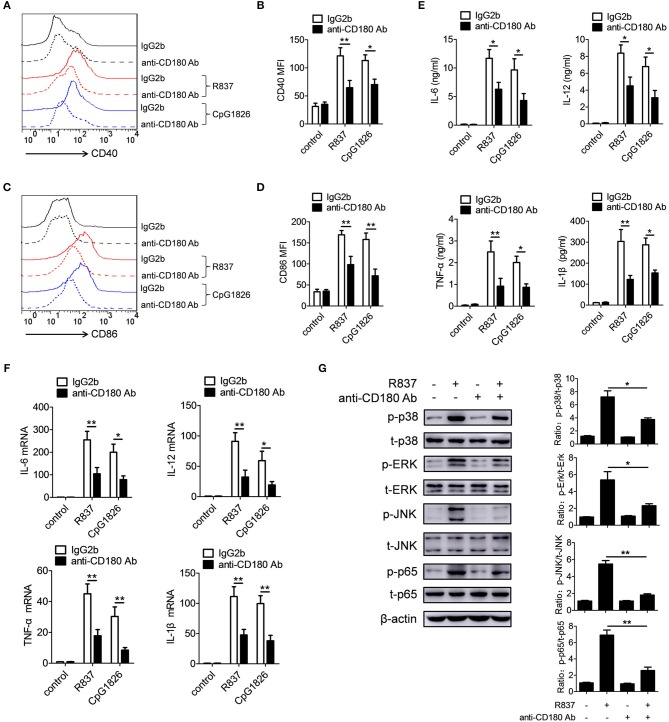 Ligation of CD180 inhibits TLR7- and TLR9-mediated activation of macrophages. BMDMs were pretreated with anti-CD180 antibody (0.2 μg/ml) or IgG2b antibody (0.2 μg/ml) followed by stimulation of R837 (1 μg/ml) and CpG1826 (0.5 μM). (A,B) Flow cytometric analysis of CD40 expression at 24 h. (C,D) Flow cytometric analysis of CD86 expression at 24 h. (E) ELISA analysis of secretions of IL-6, IL-12, TNF-α and IL-1β in cell culture at 24 h. (F) Q-PCR analysis of the mRNA levels of IL-6, IL-12, TNF-α, and IL-1β at 6 h. The axis labels means the fold differences over control. (G) Western blot analysis of the phosphorylation levels of p38, Erk, JNK, and p65 at 1 h. The data shown represent the means of three independent experiments and the error bars represent the S.E.M. * p