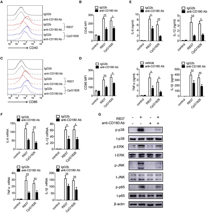 Ligation of CD180 inhibits TLR7- and TLR9-mediated activation of DCs. BMDCs were pretreated with anti-CD180 antibody (0.2 μg/ml) followed by stimulation of R837 (1 μg/ml) and CpG 1826 (0.5 μM). (A,B) Flow cytometric analysis of CD40 expression at 24 h. (C,D) Flow cytometric analysis of CD86 expression at 24 h. (E) ELISA analysis of secretions of IL-6, IL-12, TNF-α, and IL-1β in cell culture at 24 h. (F) Q-PCR analysis of the mRNA levels of IL-6, IL-12, TNF-α, and IL-1β at 6 h. The axis label means the fold differences over control. (G) Western blot analysis of the phosphorylation levels of p38, Erk, JNK, and p65 at 1 h. The data shown represent the means of three independent experiments and the error bars represent the S.E.M. * p
