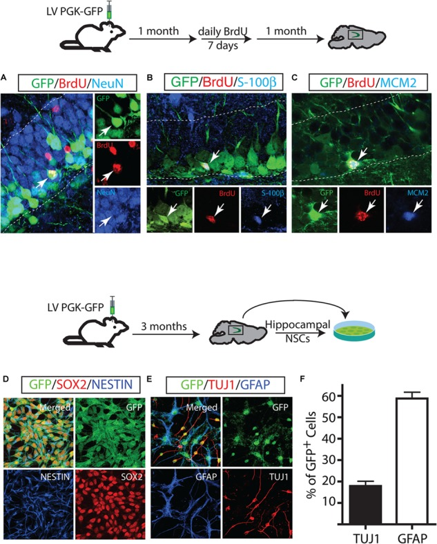 Long-term maintenance of NSCs in the adult hippocampus. Fate mapping of GFP + identified NSCs that proliferate and produce neurons (A) and astrocytes (B) . Some NSCs underwent cell proliferation proliferated twice in a one-month interval (C) . GFP-labeled cells in vivo gave rise to in vitro NSCs. In vitro , GFP + NSCs expressed NSC markers such as NESTIN and Sox2 (D) and differentiated into neurons (TUJ1) and astrocytes (GFAP) (E) . GFP + derived-neurons and astrocytes at day 7 of differentiation (F) .