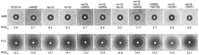 Sensitivity of mutants to antifungal drugs. The sensitivity to amphotericin B and fluconazole was determined by a disk diffusion assay in which cells were spread onto the surface of an RPMI 1640 medium plate and then filter discs containing 25 µg of the drugs were placed on the surface of the plate. The ron1 Δ rep1 Δ ndt80 Δ triple mutant was slightly more sensitive to amphotericin B (AMB) than the wild-type SC5314 strain but was not more sensitive to fluconazole (FLC). None of the mutants showed significant differences in the zone of 50% growth inhibition (RAD 50 ) in fluconazole compared to the wild-type strain. However, the deletion mutants lacking NDT80 (mutants ndt80 Δ, rep1 Δ ndt80 Δ, ron1 Δ ndt80 Δ, and ron1 Δ rep1 Δ ndt80 Δ) did not show the trailing growth around the fluconazole disks that was seen for the other strains. The plates were incubated at 30°C for 48 h and then photographed. Image analysis software was used to measure the zone of growth inhibition to determine the average radius that corresponded to a 50% growth reduction (RAD 50 ). Double asterisks show statistically significant differences ( P