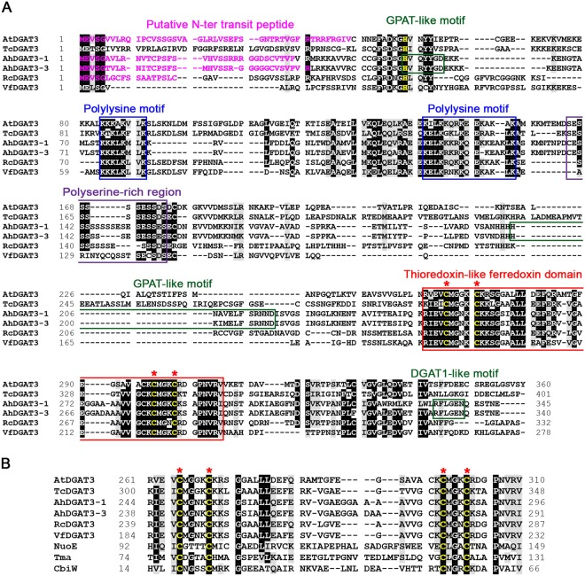 Comparison of AtDGAT3 sequence with that of other DGAT3s. The AtDGAT3 amino acid sequence (GenBank accession number AEE32272) was aligned, using Clustal Omega with ( A ) five plant DGAT3 protein sequences [ Theobroma cacao (EOX95446), Arachis hypogaea (AAX62735 and AGT57760), Ricinus communis (EEF43203), Vernicia fordii (AGL81309)] and with ( B ) homologues to the thioredoxin-like [2Fe-2S] ferredoxin class: a ferredoxin from Bacillus megaterium (CbiW, CAA04306), a NADH-ubiquinone oxidoreductase subunit from Paracoccus denitrificans (NuoE or NQO2, AAA25588), the [FeFe]-hydrogenase gamma subunit from Thermotoga maritima (Tma or HydC, AAC02684)]. Multiple sequence alignments were edited using the BioEdit program and the BLOSUM62 similarity matrix for shading with a threshold of 75%. Identical residues are highlighted in black and homologous residues are shaded in grey. Conserved motifs are boxed: the two polylysine motifs in blue, a polyserine-rich region in purple and the thioredoxin-like ferredoxin domain in red with its conserved cysteine residues in yellow and highlighted with red asterisks. Putative catalytic motifs identified in A. hypogea DGAT3s by homology with motifs found in GPATs or DGAT1s are boxed in green. The putative catalytic histidine from the first GPAT-like motif, absent in the truncated forms of AtDGAT3, is yellow.