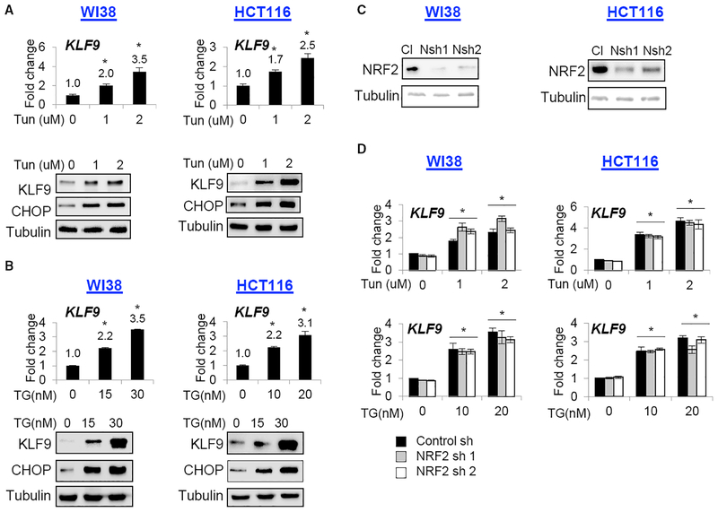 KLF9 Is Upregulated by ER Stress Independently from NRF2 (A and B) Cells were treated with indicated doses of (A) tunicamycin (Tun) or (B) thapsigargin (TG) for 24 hr and probed by qRT-PCR (upper panels, KLF9/β-actin signal ratios are shown) or immunoblotting (lower panels) with indicated antibodies. (C) Indicated cells were transduced with control (Cl) or NRF2 (Nsh1 or Nsh2) shRNAs followed by immunoblotting with the indicated antibodies.(D) Cells described in (C) were treated with indicated doses of Tun or TG for 24 hr and probed in qRT-PCR (KLF9/β-actin signal ratios are shown). Representative images shown. All data represent mean ± SEM of 2 or more biological replicates. Statistical significance was analyzed using two-tailed Student's t test. A p