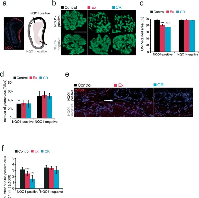 Ex and CR reduce glomerular size and the neuronal response to odorants selectively in the dorsal domain of the olfactory bulb. (a) Area of analysis in the olfactory bulb (OB). Left, coronal section of the OB stained with anti-NQO1 antibody (red) and DAPI (blue). Right, schematic diagram of the OB showing NQO1-positive and -negative areas. (b) Representative coronal sections stained with anti-OMP (green) in control, Ex and CR mice. Each circled area corresponds to a glomerulus. Scale bar, 50 µm. (c) Summary of the ratio of areas stained and unstained with OMP. The OMP-stained area of NQO1-positive OB was significantly smaller in Ex and CR mice than in control mice (***p
