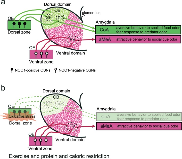 Schematic diagram illustrating two parallel olfactory pathways. (a) NQO1-positive OSNs in the dorsal zone of the OE project to the dorsal domain in the main OB. Aversive odor signals are transmitted from the dorsal domain in the main OB (spoiled-food-odor-responsive glomeruli, SF; predator-odor-responsive glomeruli, PO) to the cortical amygdala (CoA), mediating the aversive behavior to spoiled food odors and the fear response to predator odors. NQO1-negative OSNs in the ventral zone project to the ventral domain in the main OB. Attractive social odor signals are transmitted from the posteroventral (PV) part of the main OB to the anterior amygdala (aMeA), mediating attractive behavior to social odor cues. OE, olfactory epithelium; OB, olfactory bulb; OSNs, olfactory sensory neurons. (b) Long-term Ex and CR reduce the number of functional OSNs in the dorsal zone that give rise to the dorsal olfactory pathway. By contrast, long-term Ex and CR have little effect on OSNs in the ventral zone that give rise to the ventral pathway.