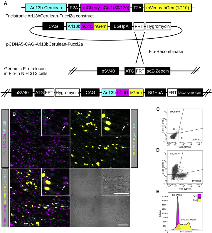 Design and Characterization of an Arl13bCerulean-Fucci2a Reporter with Stable Integration and Expression in an NIH 3T3 Cell Line (A) The full length mouse Arl13b cDNA was fused to mCerulean and combined with the Fucci2a probes mCherry-hCdt1(30/120) and mVenus-hGem(1/110) separated by the self-cleaving peptides P2A and T2A, respectively. Expression of this tricistronic construct is driven by the CAG promoter. A stable NIH 3T3 cell line was generated using the Flp-In system incorporating a single copy of Arl13bCerulean-Fucci2a by co-transfection of pCDNA5-CAG-Arl13bCerulean-Fucci2a and the Flp-recombinase expressing plasmid pOG44. (B) Live confocal images of the Arl13bCerulean-Fucci2a 3T3 cells showing nuclei distributed throughout the G1 or S/G2M cell cycle phases and labeled with mCherry-hCdt1(30/120) or mVenus-hGem(1/110), respectively. Single primary cilia are apparent on cells in both G1 and S/G2/M phases of the cell cycle (arrows in B, inset). (C and D) FACS analysis of Arl13bCerulean-Fucci2a 3T3 cells showed distinct mCherry-hCdt1(30/120) and mVenus-hGem(1/110) labeled cell populations (D) when compared to a control cell line (C). (E) DAPI staining and FACS analysis to determine the DNA content of the mCherry-hCdt1(30/120) and mVenus-hGem(1/110) populations in (C) confirmed faithful reporting of cell cycle stage; mCherry-hCdt1(30/120) positive cells exhibit a classical 2n peak confirming they are in the G1 cell cycle phase; mVenus-hGem(1/110) positive cells exhibit a long peak between 2n and 4n, confirming a population of cells in S, G2, and M phases of the cell cycle. Scale bars: 100 μm in (B) and 50 μm in (B) (inset).